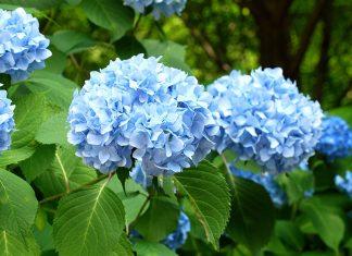 Best Hydrangea Flower